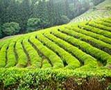 polja zelenog čaja